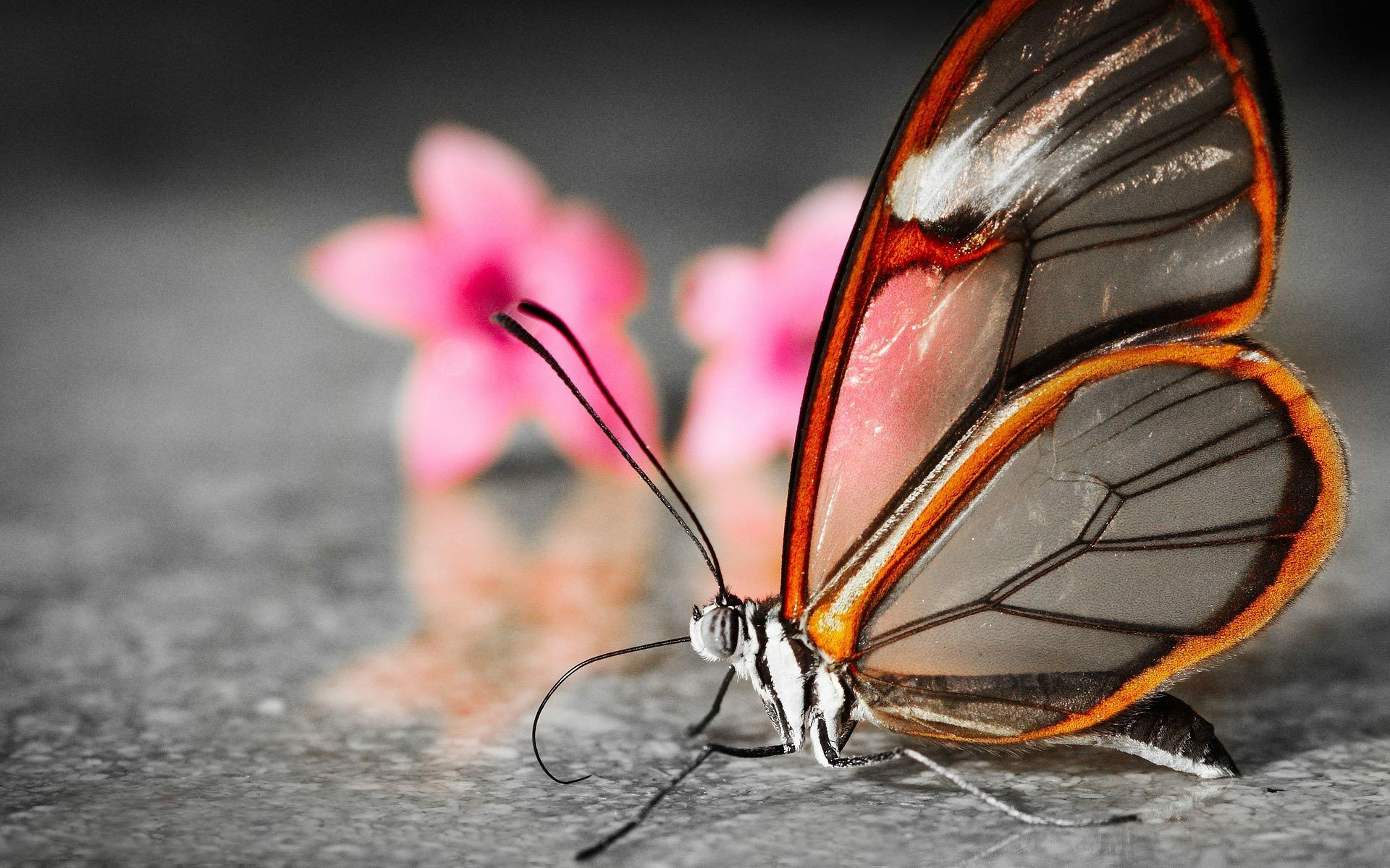 Скачать бесплатно обои бабочки на рабочий стол   подборка (33)
