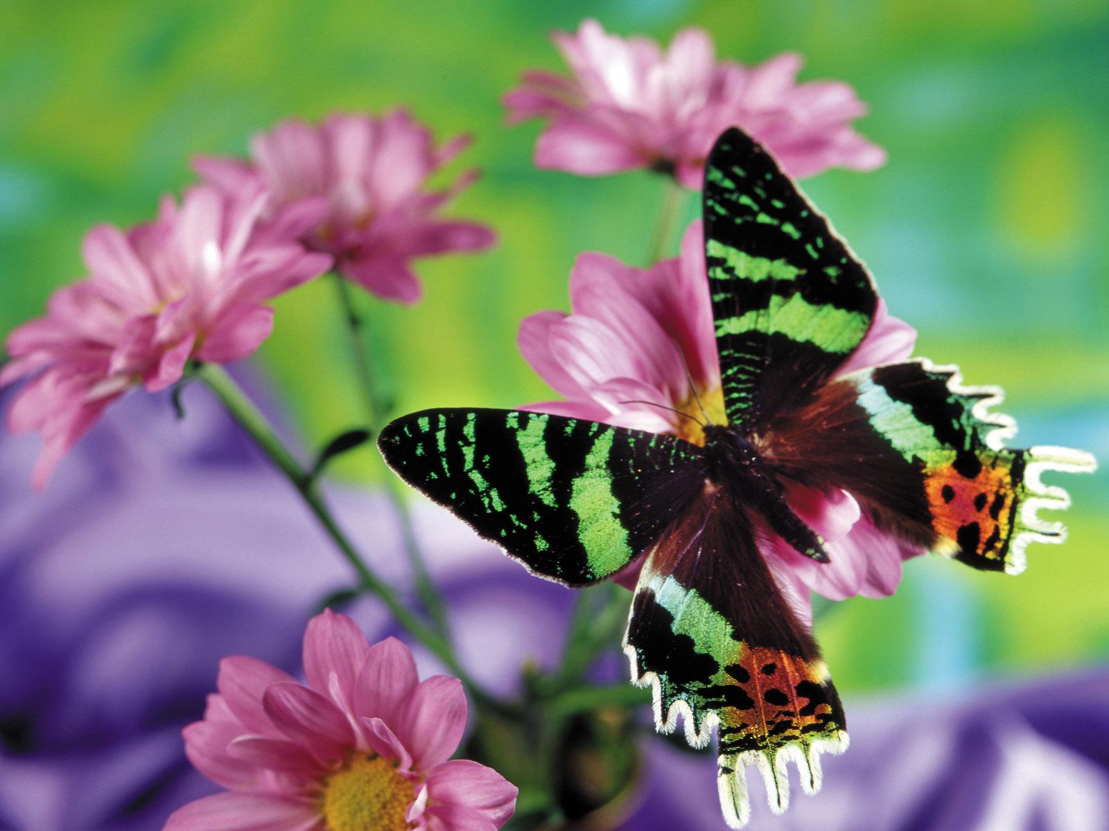 Скачать бесплатно обои бабочки на рабочий стол   подборка (40)