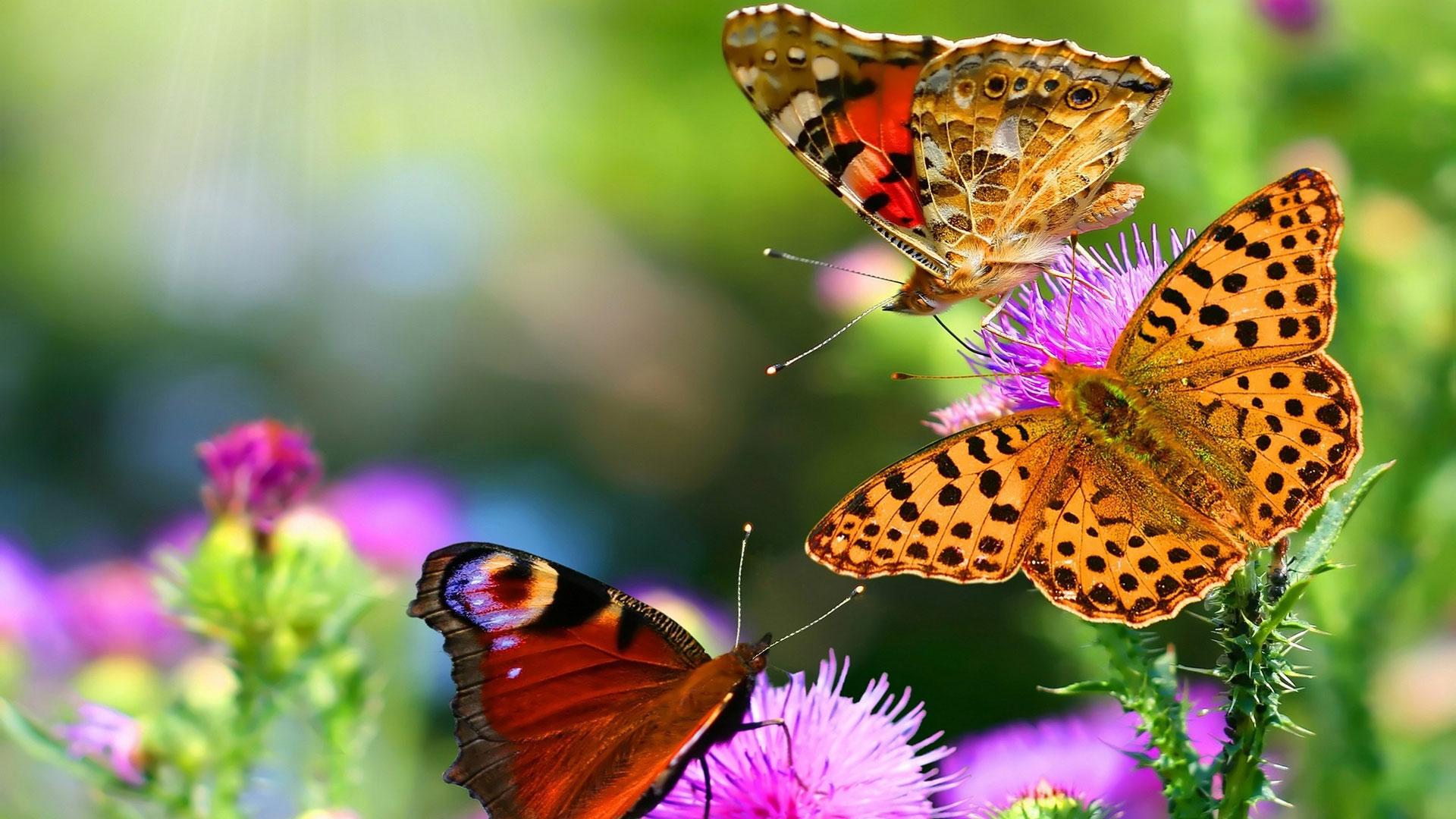Скачать бесплатно обои бабочки на рабочий стол   подборка (8)