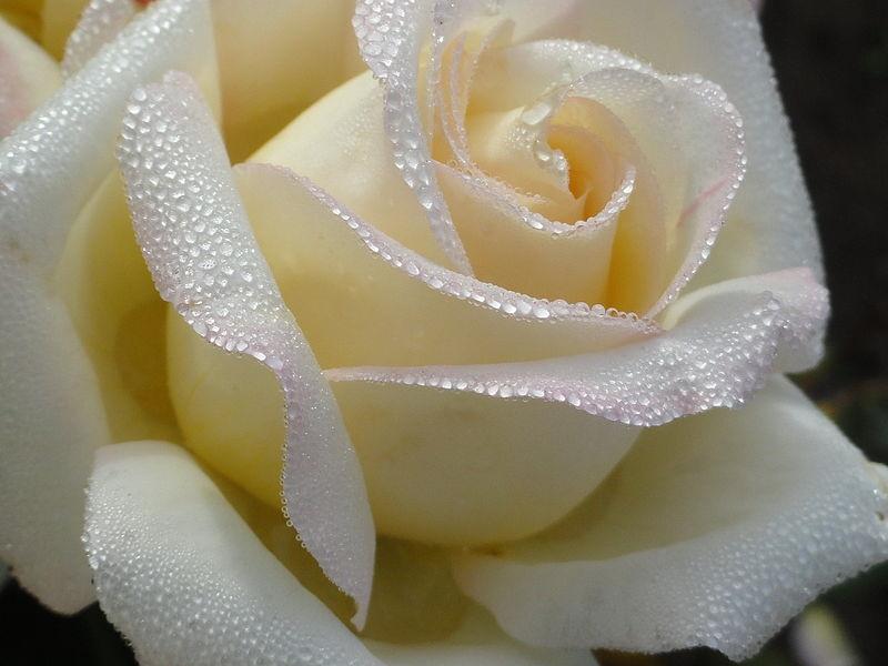 Скачать картинки белые розы   подборка 007