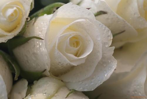 Скачать картинки белые розы   подборка 008
