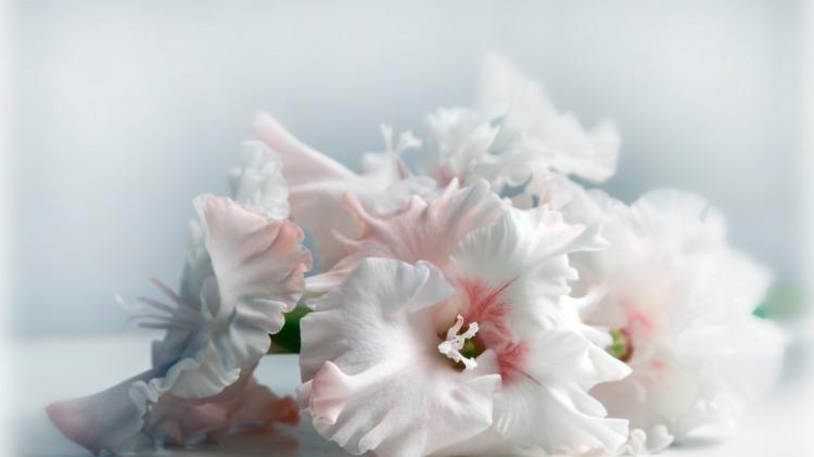 Скачать картинки белые розы   подборка 011