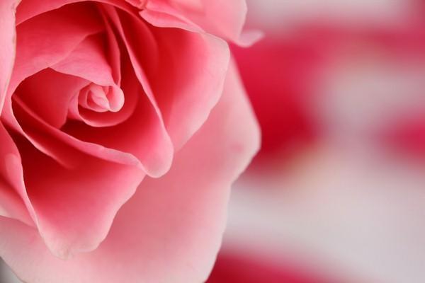 Скачать картинки белые розы   подборка 024