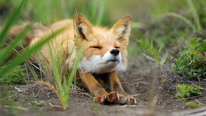 Скачать картинки лисы на рабочий стол (27)