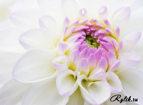 Скачать красивые фото цветов в высоком качестве   сборка (3)