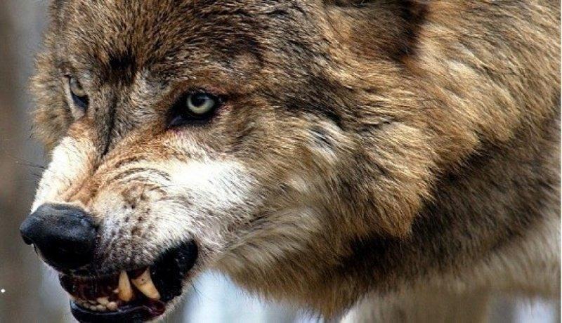 Скачать фото оскал волка бесплатно   подборка 002
