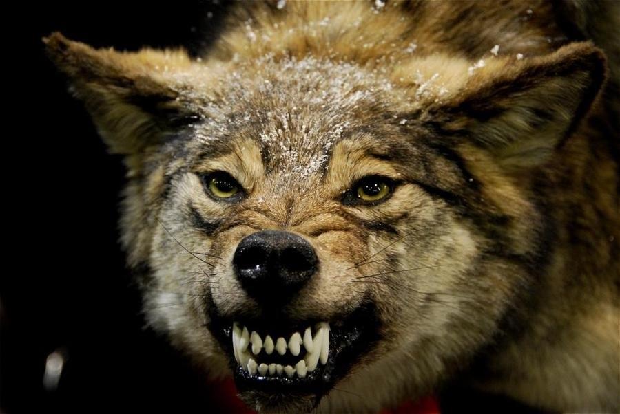 Скачать фото оскал волка бесплатно   подборка 003
