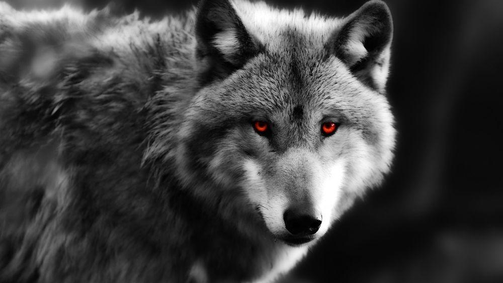 Скачать фото оскал волка бесплатно   подборка 006