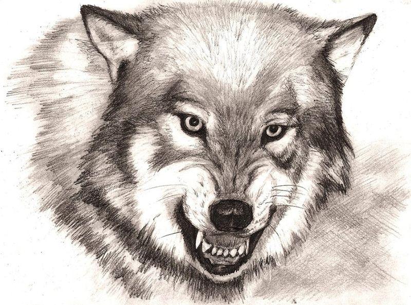 Скачать фото оскал волка бесплатно   подборка 009