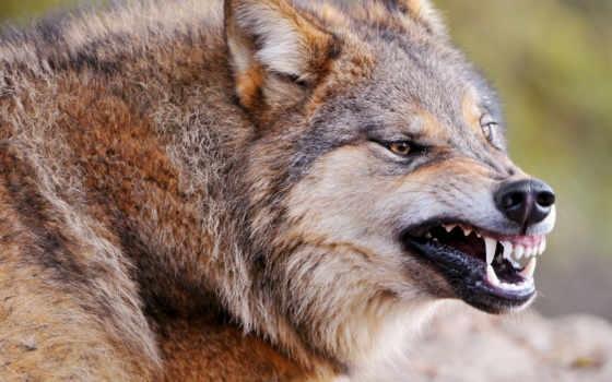 Скачать фото оскал волка бесплатно   подборка 010