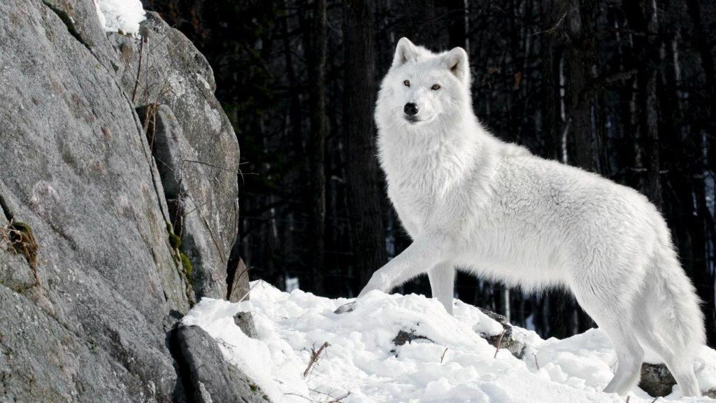 Скачать фото оскал волка бесплатно   подборка 011