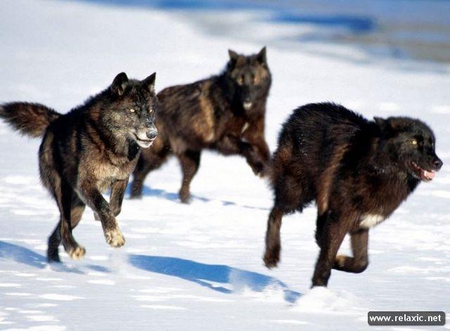 Скачать фото оскал волка бесплатно   подборка 012