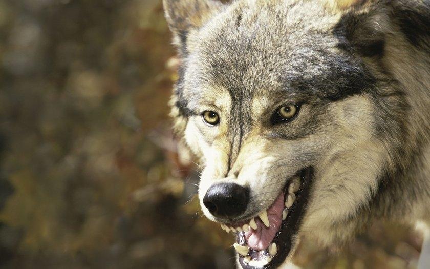 Скачать фото оскал волка бесплатно   подборка 013