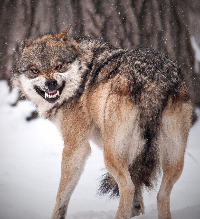 Скачать фото оскал волка бесплатно   подборка 017