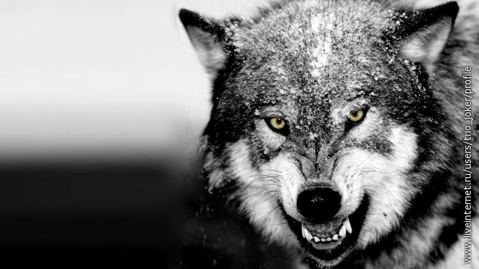 Скачать фото оскал волка бесплатно   подборка 020
