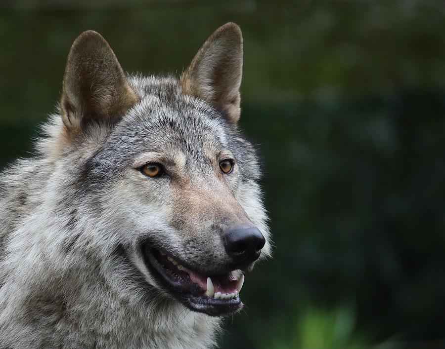 Скачать фото оскал волка бесплатно   подборка 024