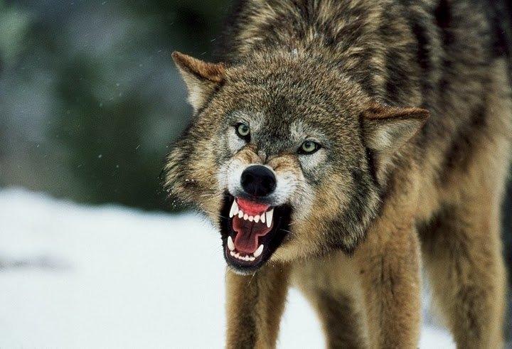 Скачать фото оскал волка бесплатно   подборка 025