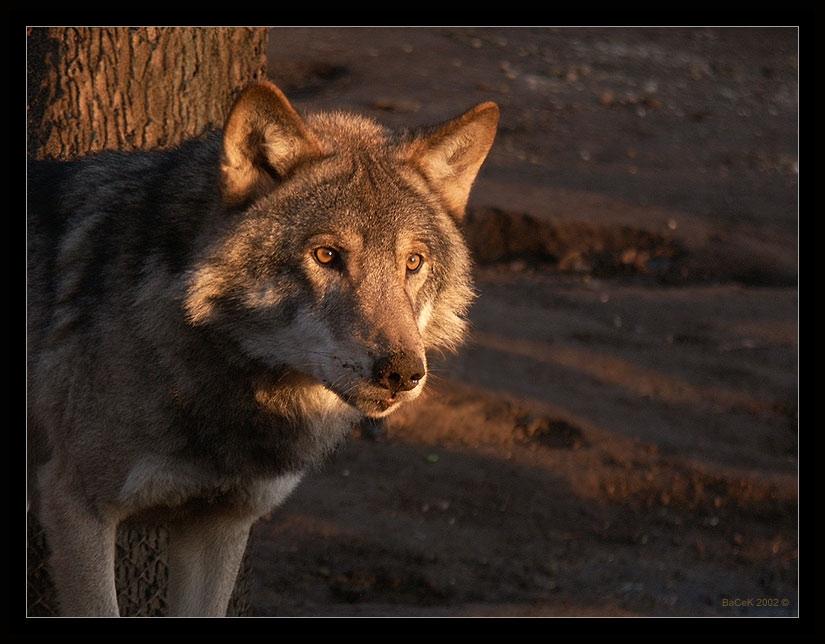 Скачать фото оскал волка бесплатно   подборка 026