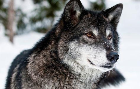 Скачать фото оскал волка бесплатно   подборка 027