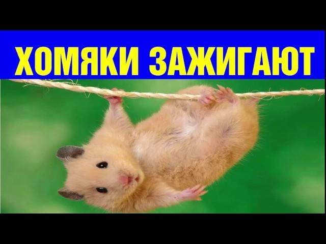 Смешные картинки про хомяков   подборка 021