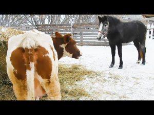 Смешные картинки с коровами   подборка 023