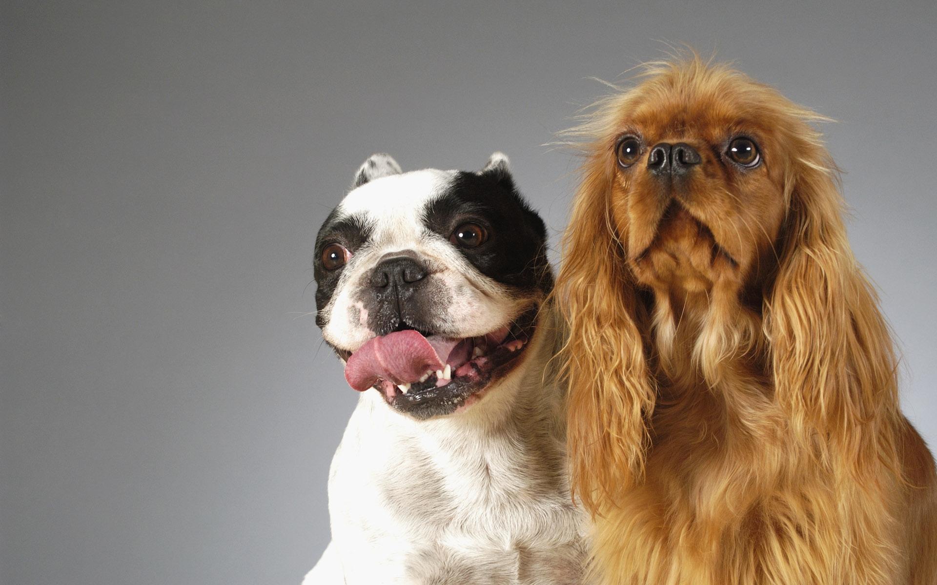 Смешные собаки на рабочий стол   подборка (22)