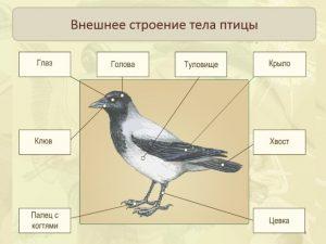 Строение птицы картинка для детей 021
