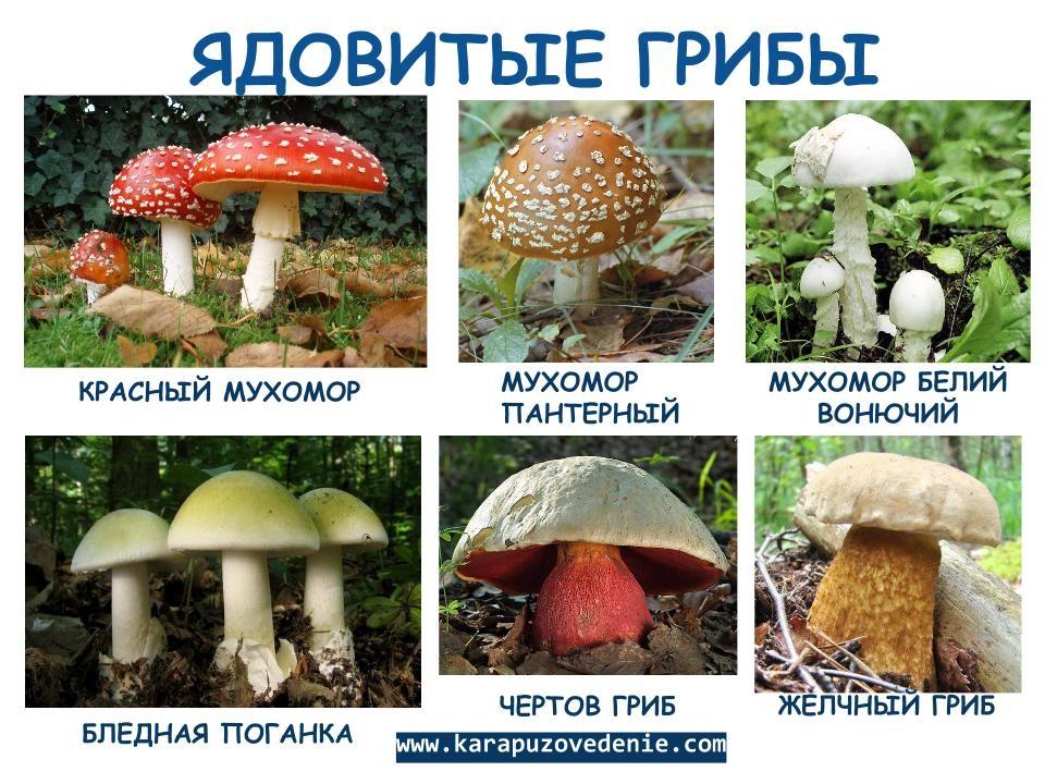 что может все съедобные грибы с фото и названиями сделать калитку профнастила