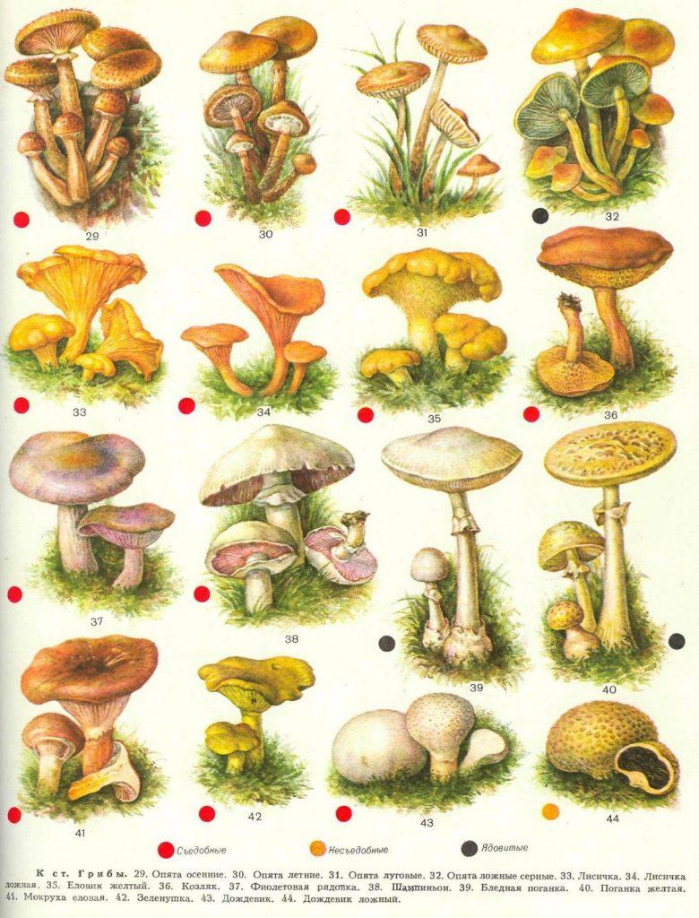 как панельные список всех грибов с картинками постройка