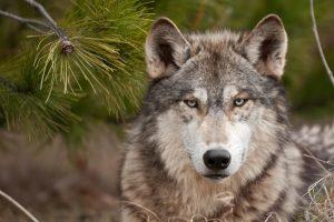 Тамбовский волк картинки и фото026