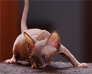 Толстый сфинкс фото кошки   подборка 022