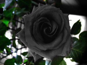 Удивительные картинки бордовые розы   подборка 022