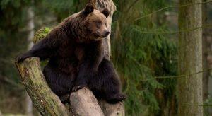Фото бурого медведя в лесу   подборка 028
