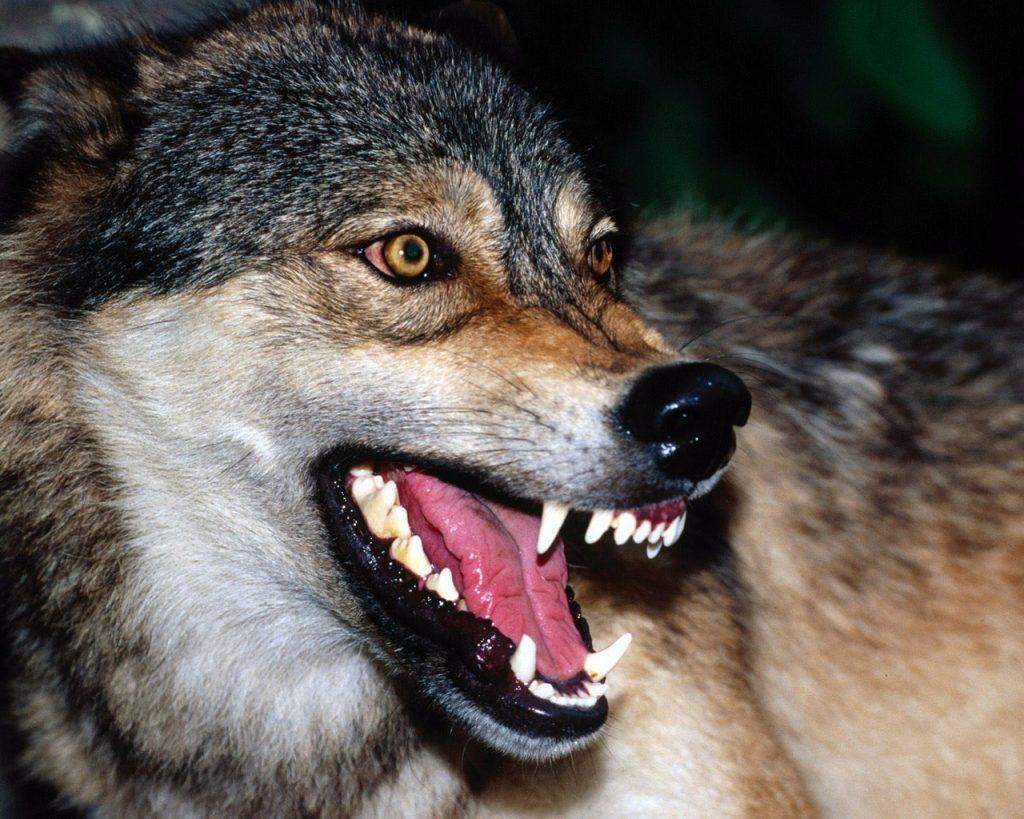 Картинки пасть злых волков