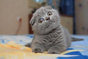 Фото красивые вислоухие котята   подборка 024