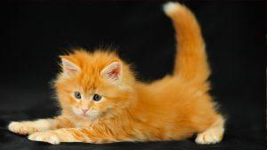 Фото рыжих кошек и котят   на заставку (23)