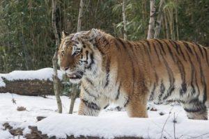 Фото тигра амурского скачать бесплатно028