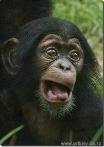 Фото шимпанзе в хорошем качестве   подборка 020