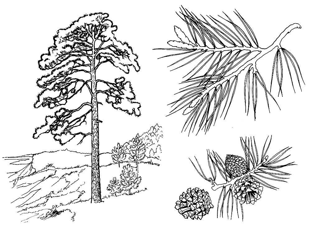 Хвойные деревья раскраски для детей   картинки 005