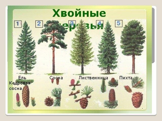 Хвойные деревья раскраски для детей   картинки 010