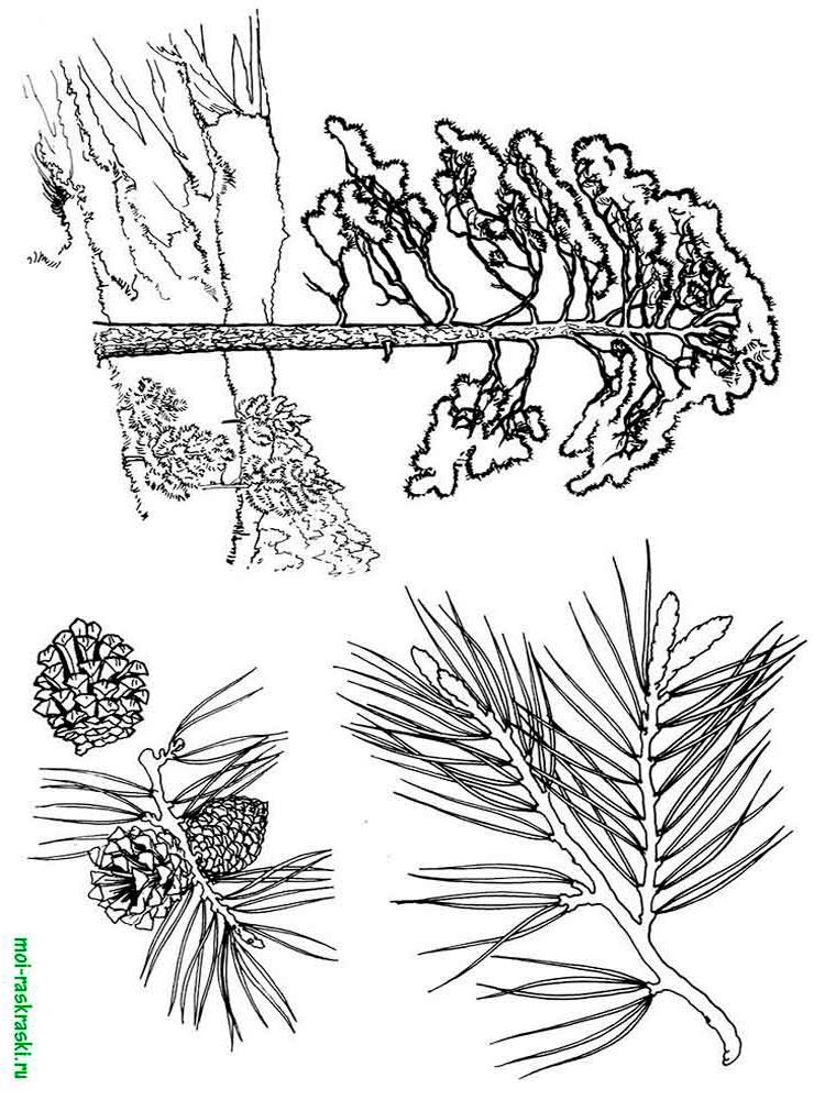 Хвойные деревья раскраски для детей   картинки 012