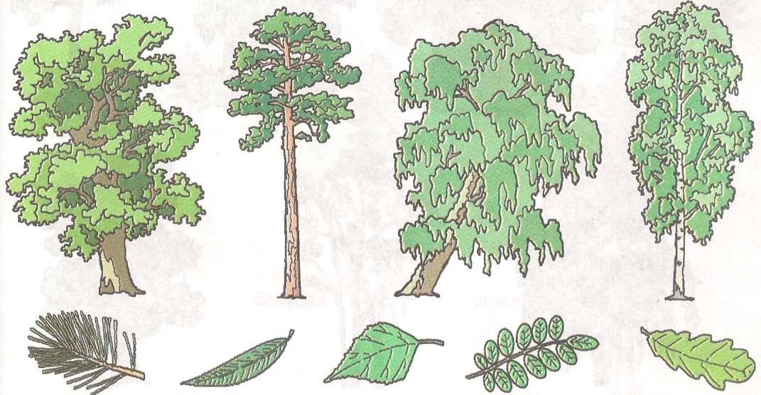 Хвойные деревья раскраски для детей   картинки 016
