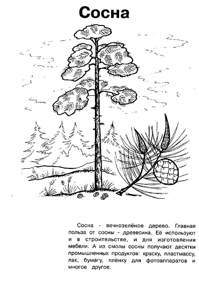 Хвойные деревья раскраски для детей   картинки 020