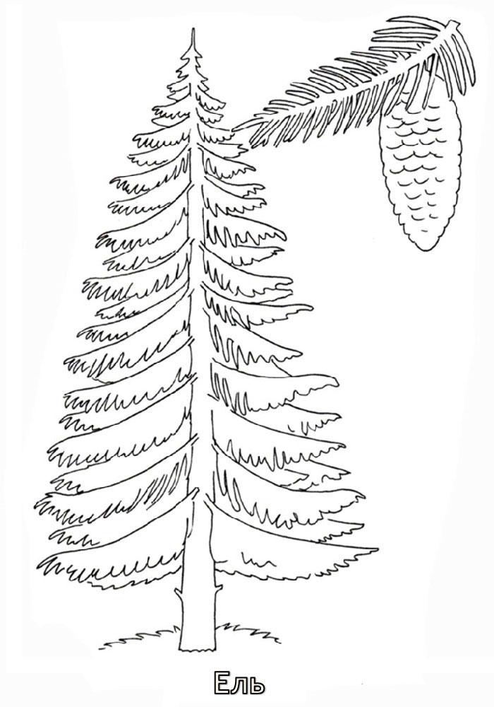 Хвойные деревья раскраски для детей   картинки 025