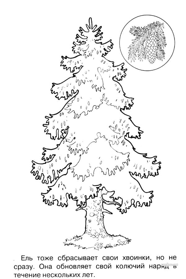 Хвойные деревья раскраски для детей   картинки 026