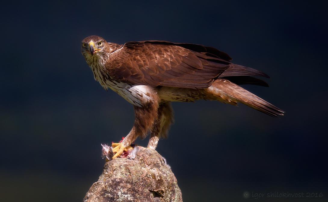 Хищные птицы омской области фото и названия