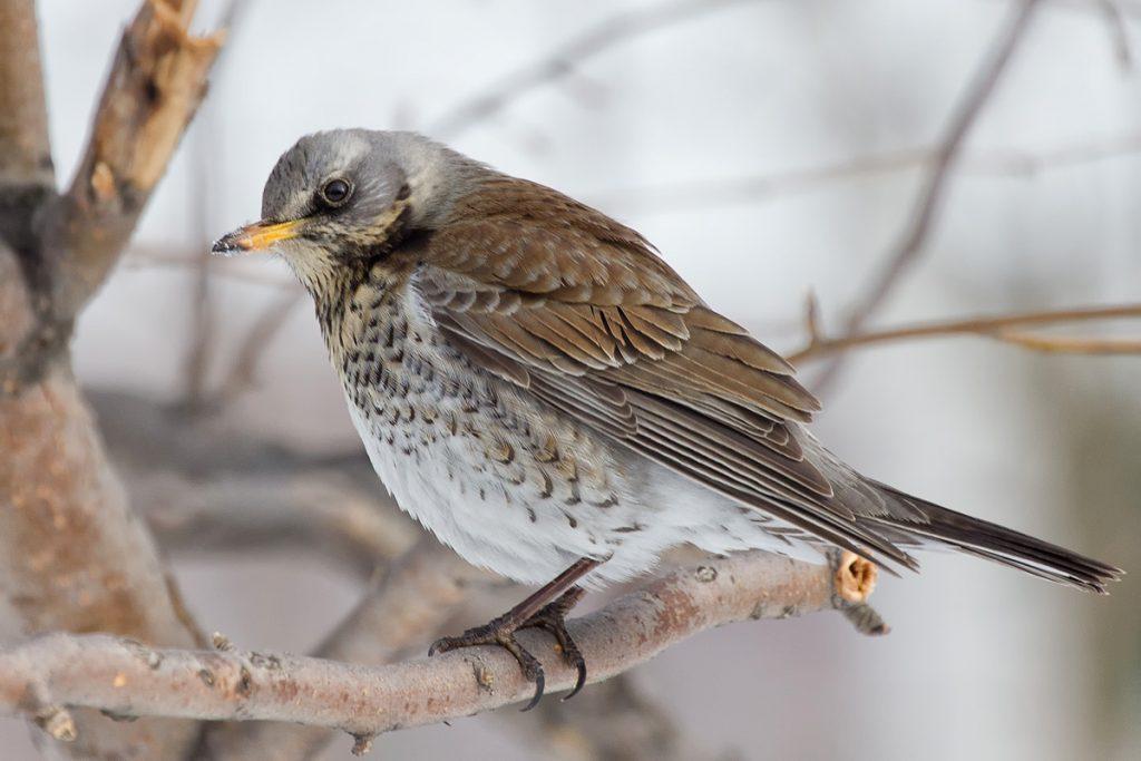птицы ярославской области картинки организации траурных мероприятий