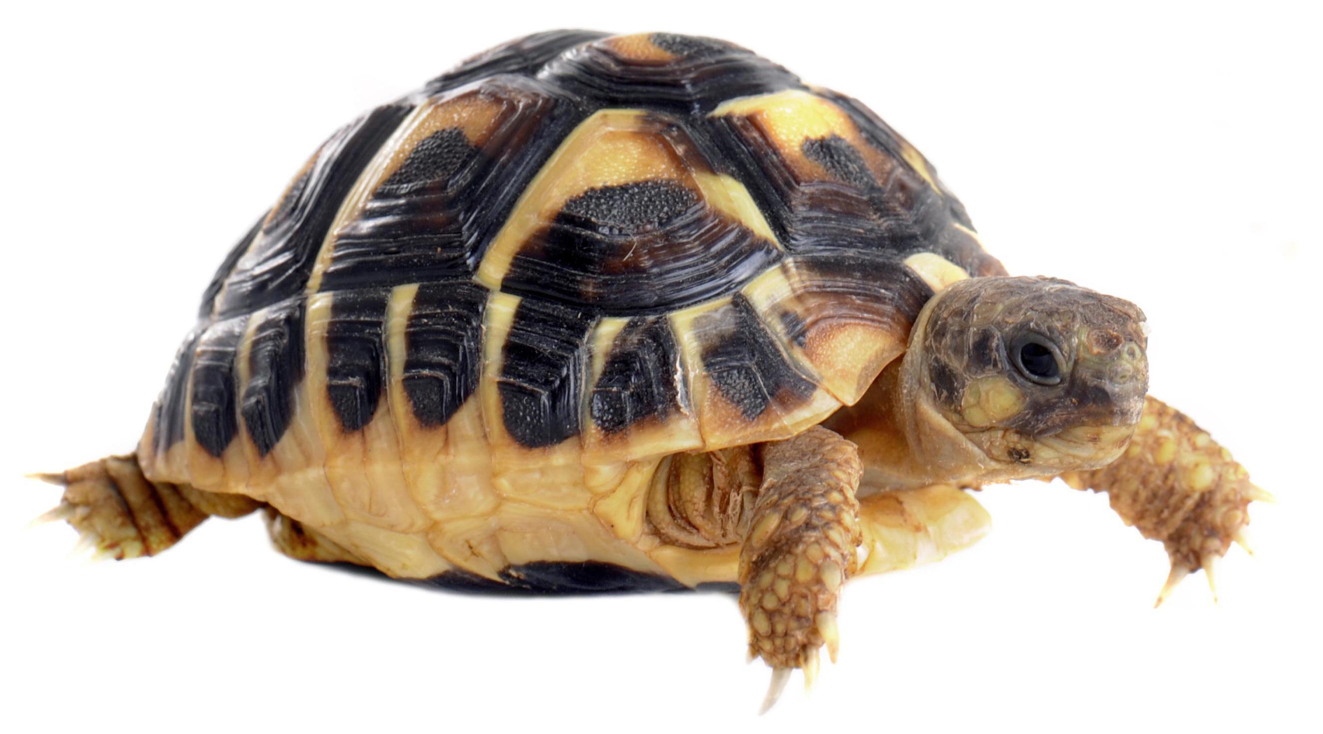 Черепаха картинка для детей на прозрачном фоне   сборка (2)