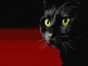Черный кот на черном фоне на рабочий стол   фото016