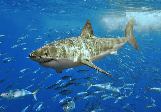 Акулы красивые картинки018